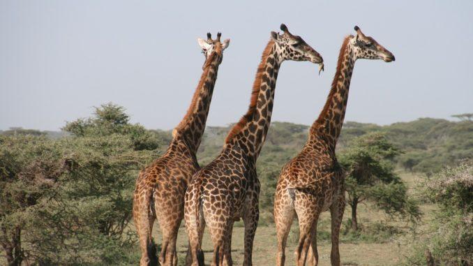 giraffe-echt