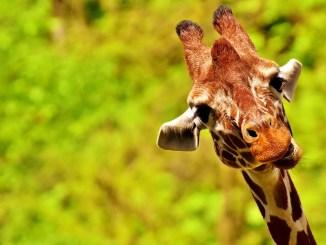 giraffe-kauf-haltung