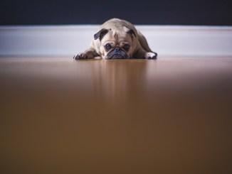Wie lange kann ein Hund alleine bleiben?