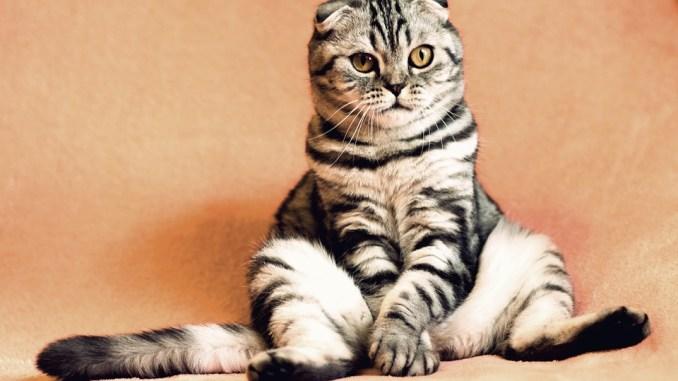 katze-miaut