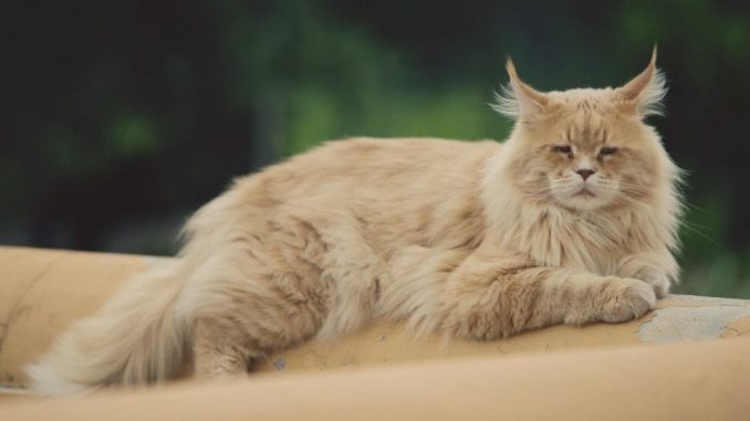 Eine Maine Coon BKH MIx Katze in rötlich