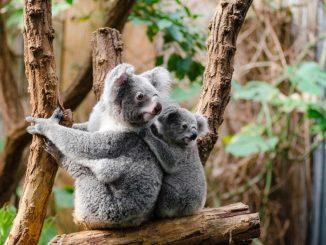 Koala Familie kann nicht als Haustier gehalten werden
