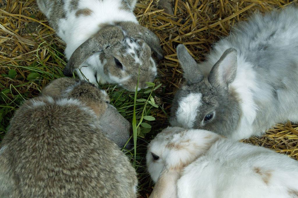 Haarlinge beim Kaninchen | Definition, Ursachen, Symptome ...