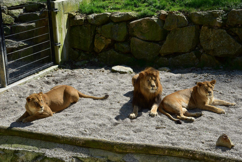 Trauungen im Tierpark Stadt Haag mit echten Lwen als Trauzeugen