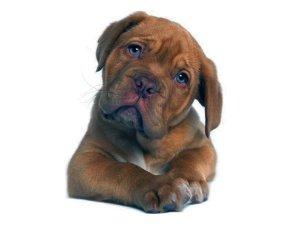 Los perros entienden cuando el humano les habla