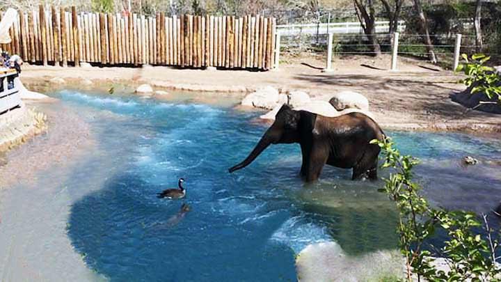 Una pelea entre un ganso y un elefante