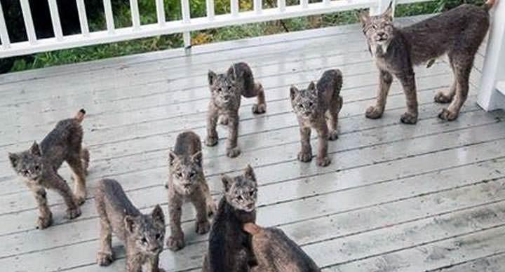 Lo visitaron cachorros de linces en Alaska