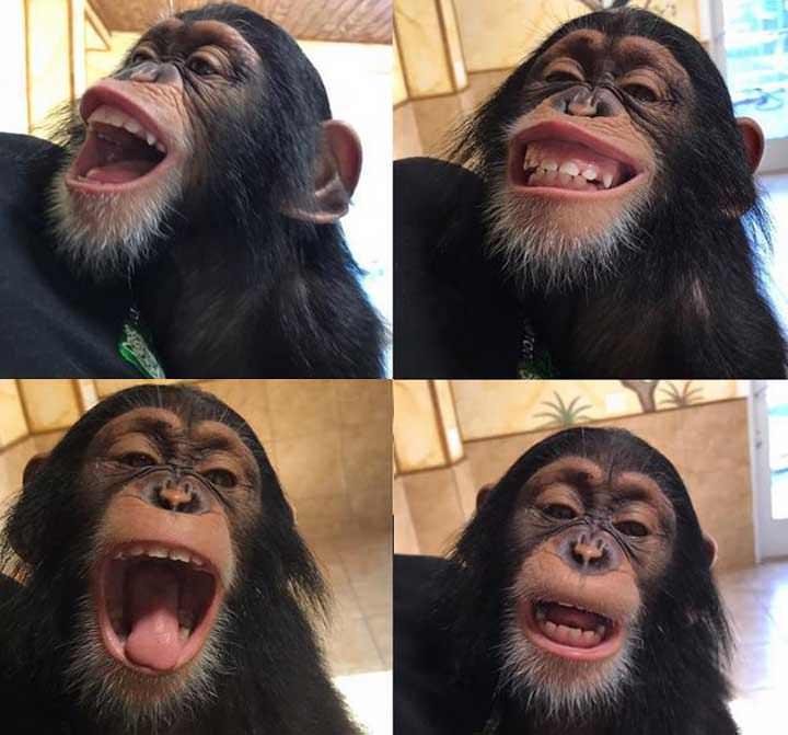 Este chimpancé divertido es un milagro