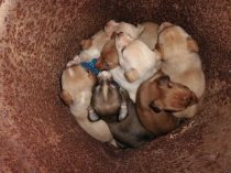 Tonys puppies 2