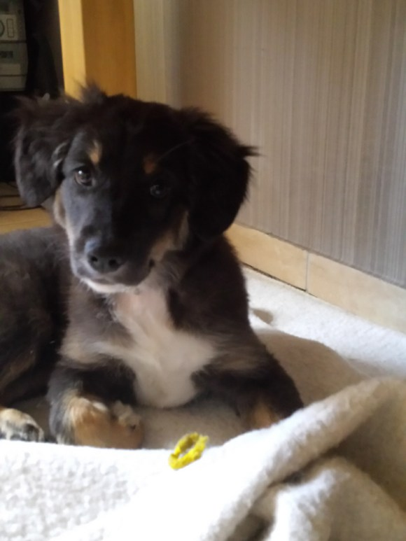 Border-Collie-Mix Welpe Lilly