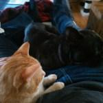 Französische Bulldogge Zola sucht ein neues Zuhause