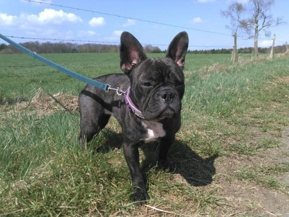 Französische Bulldogge Zola