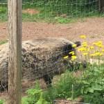 Haltungskontrolle mit Wildschweinen
