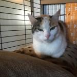Tricolor Katze Luna