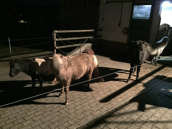 Freilaufende Ponys