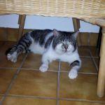 Katze Teddy aus Neuhof vermisst