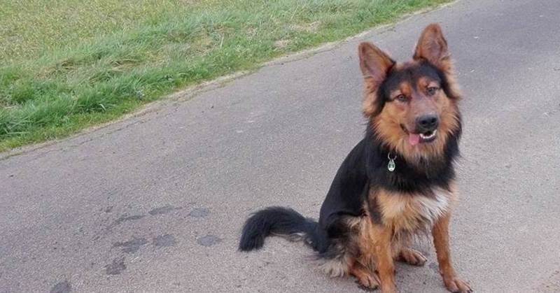 Australian Shepherd Schaferhund Mix Carlo