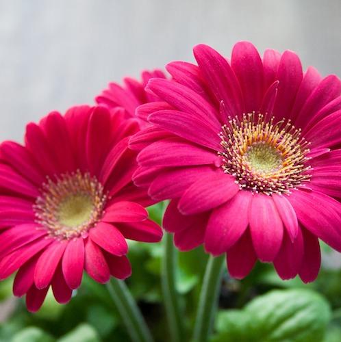Hochzeitsblumen Gerbera