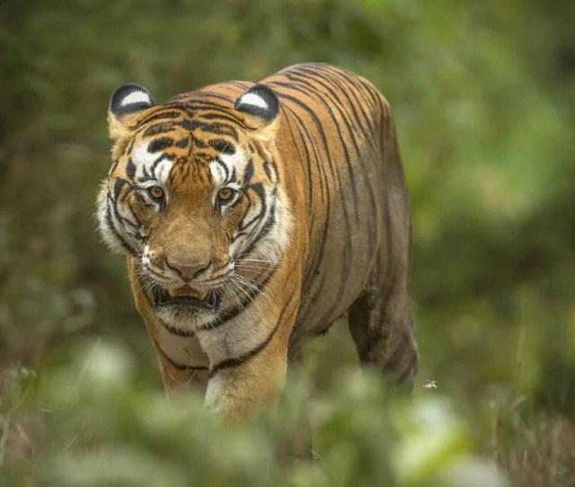 The Tiger A Keystone Species Tiger Safari India
