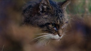 Hamish, a Scottish Wildcat