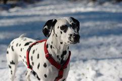dalmatian_caine