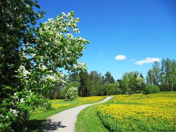tuoksuvat-tuomien-valkoiset-kukkaset