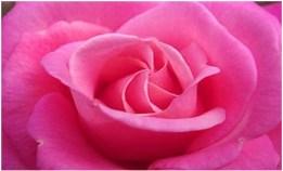 Roze roos copy