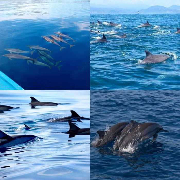 Groups of dolphins in Puerto Princesa, Palawan
