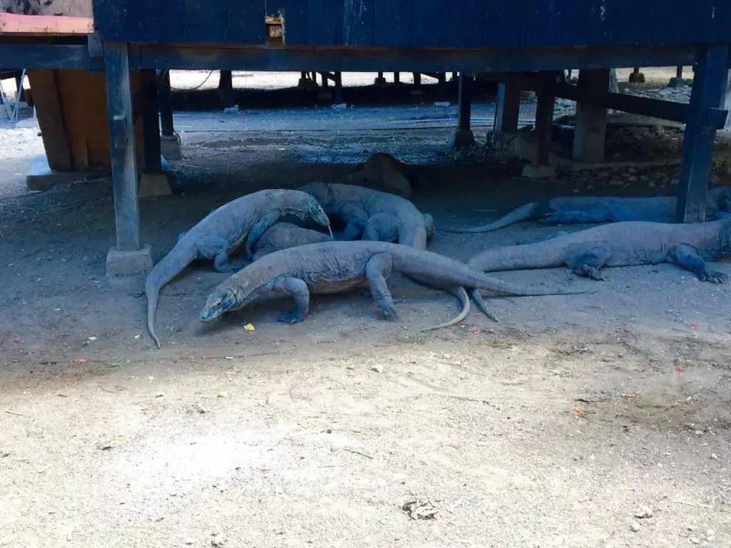 What do komodo dragons eat?