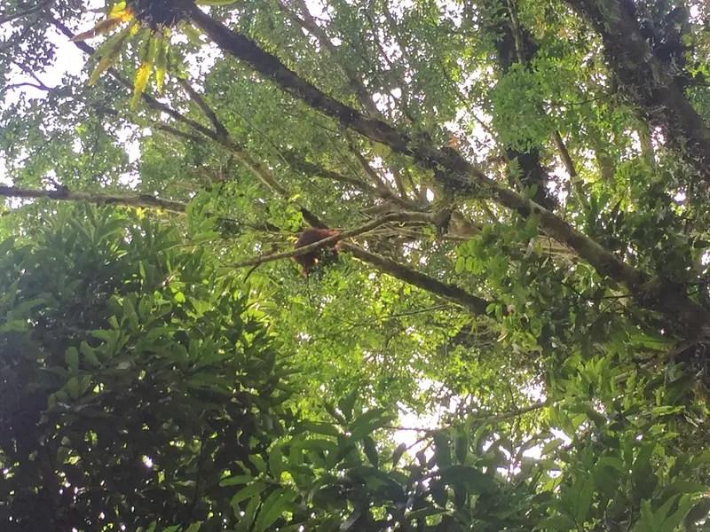 ketambe orangutan trekking