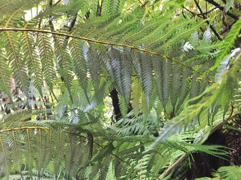 silver fern on the tirohanga track