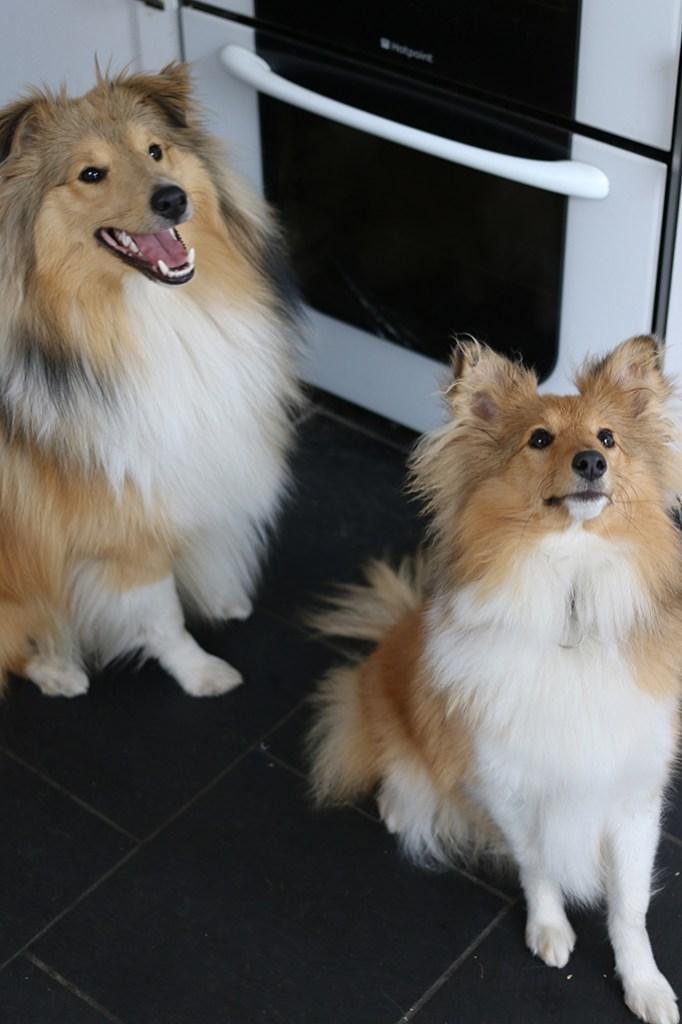 Sheltie dogs in kitchen