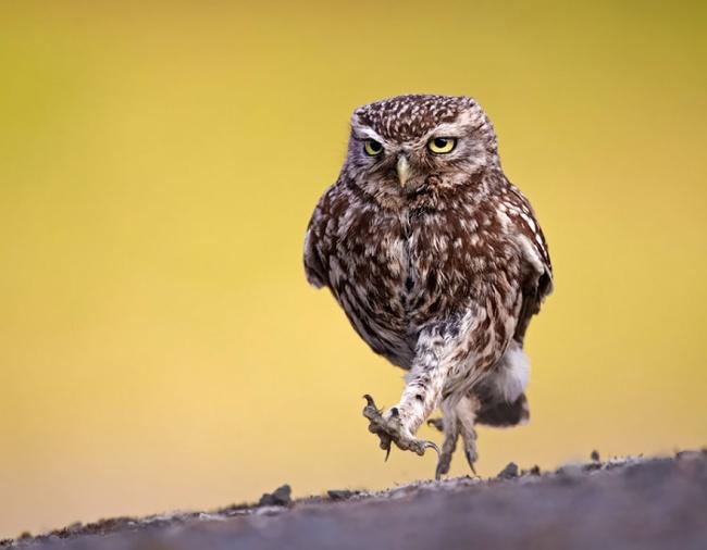 14269610-R3L8T8D-650-owl-photography-10__880