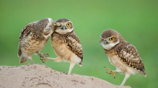 14272960-R3L8T8D-650-cute-chicks-playful-owl-4198-1366x768__880