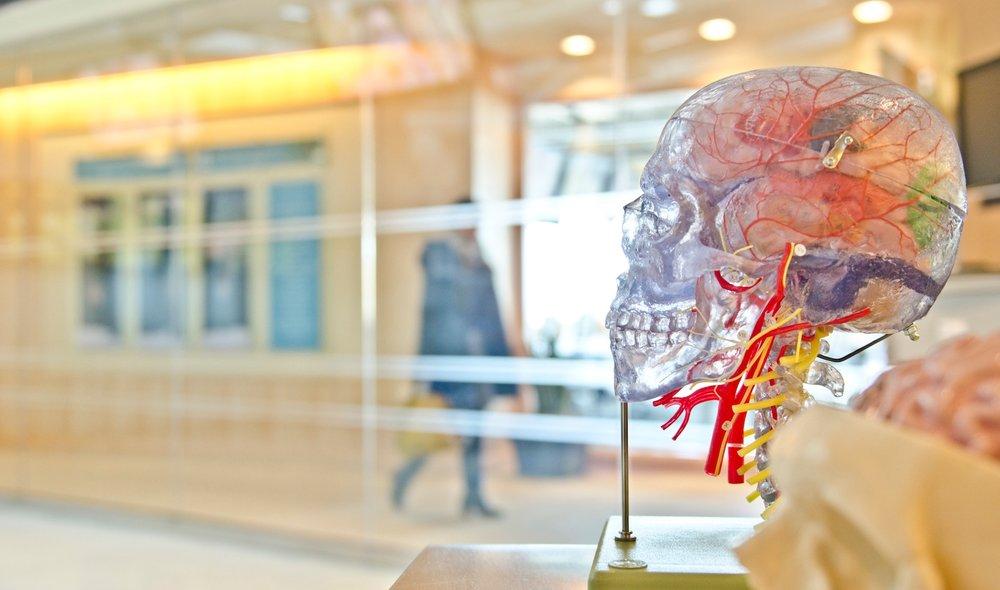 human head and brain science model