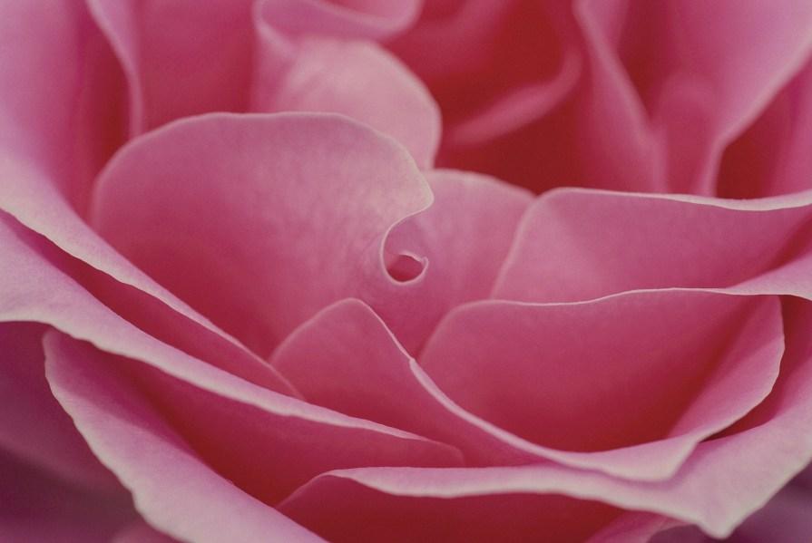 rose-600598_1920