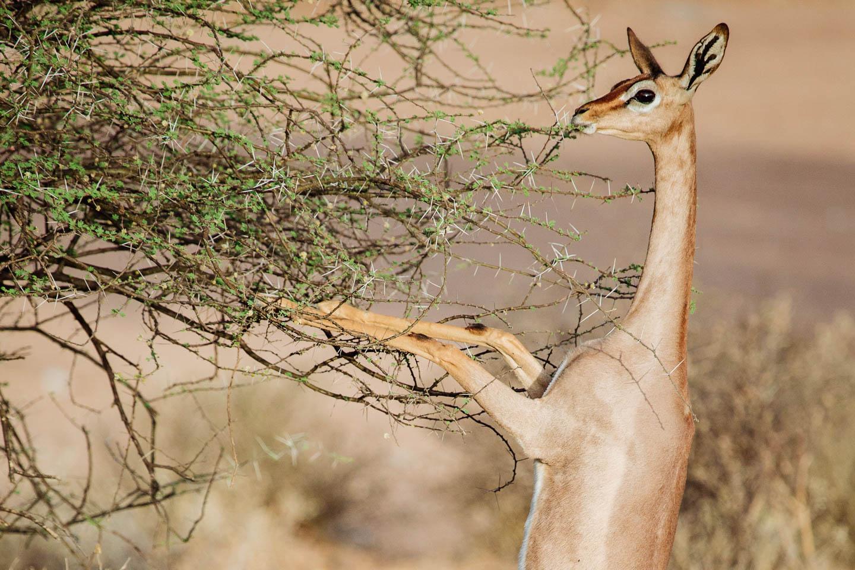 east africa safaris kenya-samburu-national-park-special-five-long-necked-gerenuk-timbuktu-travel