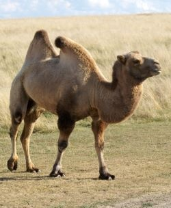 time travel camel