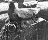Gravestone Dove