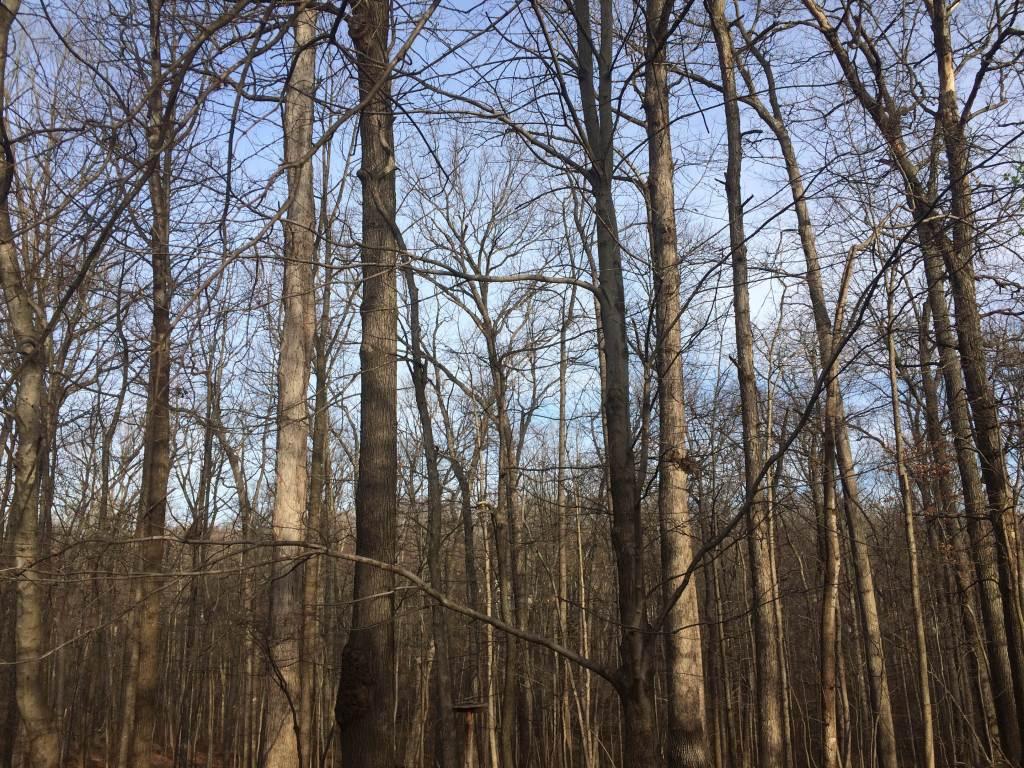 Winter Forest, Still No Leaves