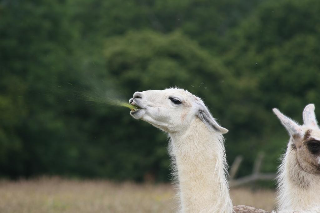 Spitting Llama