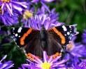 admiraal,vlinder