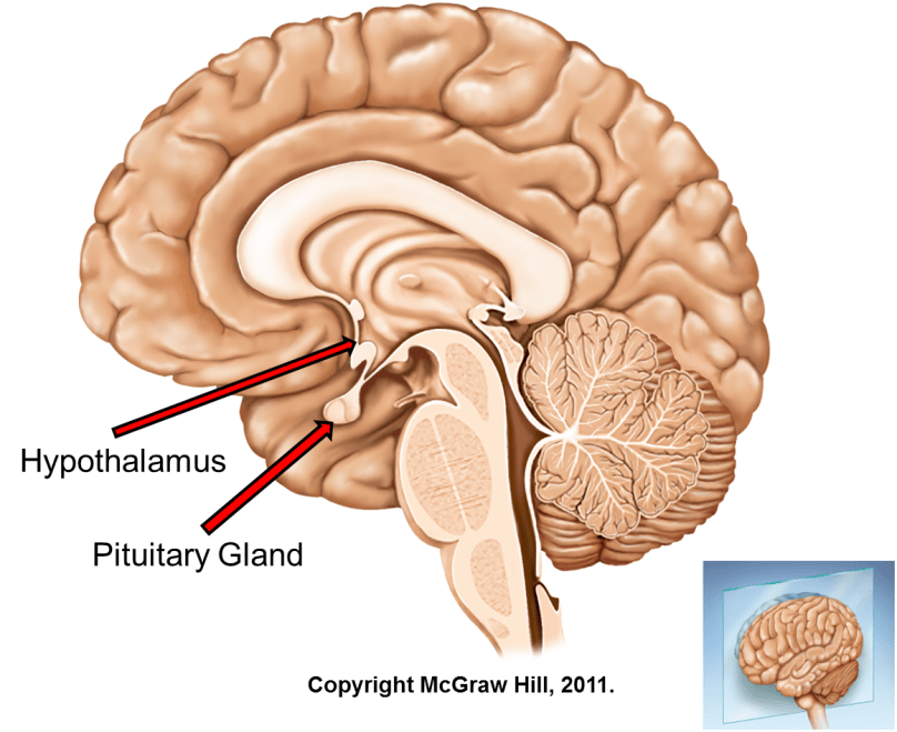 Hypothalamus Pituitary Hormones And Their Functions Time Of Care