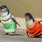 mormonpenguins