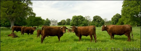 Devon Red cows in Dorset.