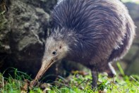 Native Bird Recovery Centre : Kiwi Sparky