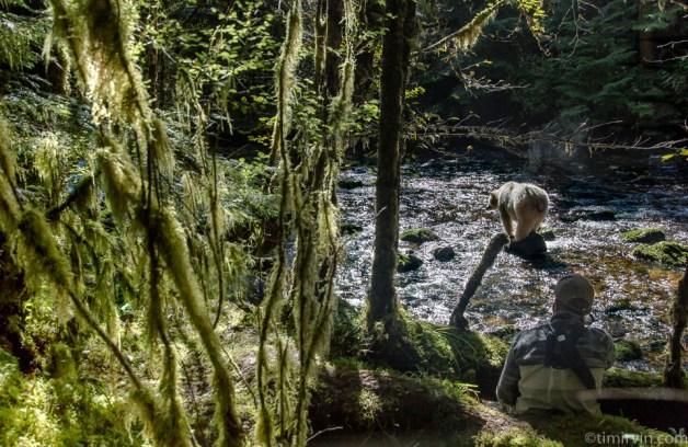 Max Venturi in the rainforest a spirit bear