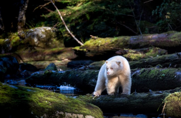 A spirit bear standing among mossy logs in the Great Bear Rainforest