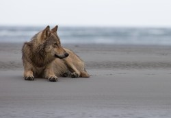 A coastal wolf lying on a beach with the ocean beyond, in the Great Bear Rainforest