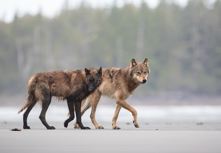 One black and one coastal wolf patrolling the intertidal zone in the Great Bear Rainforest